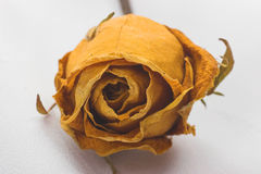 Dried rose. Withered rose against white background Stock Images