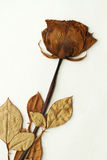 Dried rose Stock Photos