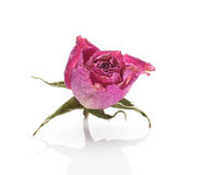 Dried rose. Royalty Free Stock Photography