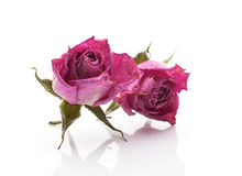 Dried rose. Stock Photos