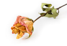 Dried rose Stock Photos