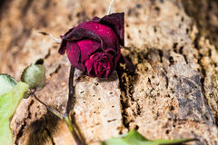 Dried rose Royalty Free Stock Images