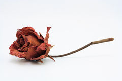 Dried rose Royalty Free Stock Photos