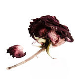Dried rose Stock Photography
