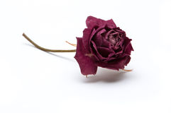 Dried rose blossom Stock Images