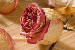 Dried rose bud Royalty Free Stock Images