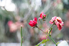 Dried rose on the Bush. Stock Images