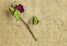 Dried rose on canvas