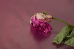 Dried rose Royalty Free Stock Photo
