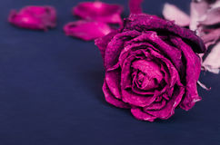 Dried rose, Dead rose Stock Photography