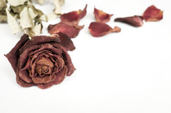 Dried rose, Dead rose Royalty Free Stock Images
