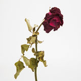 Dried rose depicted on a white background. Royalty Free Stock Image