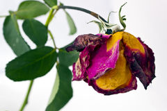 Dried rose flower Stock Photos