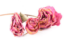 dried rose flower isolated against a white background, Vintage S Stock Photo
