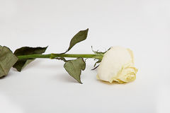 Dried rose flower with leafs isolated over white Royalty Free Stock Photo