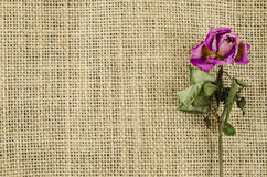 Dried rose flower on linen background Royalty Free Stock Photo