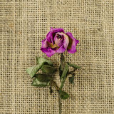 Dried rose flower on linen background Royalty Free Stock Photos