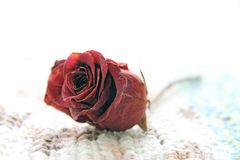 Dried rose flower over a white background Stock Image