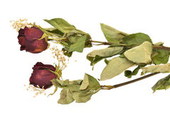Dried Rose Flowers Royalty Free Stock Image