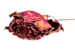 Dried rose. A dried rose isolated over a white background Royalty Free Stock Photo