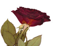 Dried rose. Stock Photography