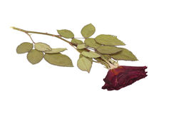 Dried rose. Stock Images