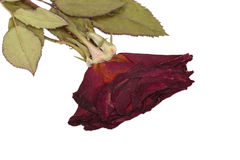 Dried rose. Royalty Free Stock Photo