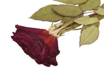 Dried rose. Royalty Free Stock Image