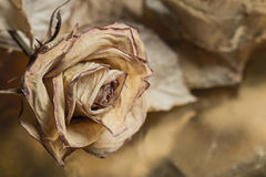 Dried rose with leaves. Nostalgic background Stock Photography