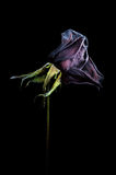 Dried rose over black Stock Photo