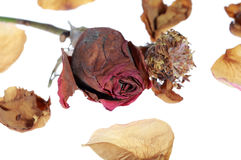 Dried rose petals Stock Images