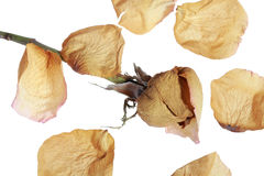 Dried rose petals Stock Image