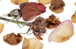 Dried rose petals Stock Photos