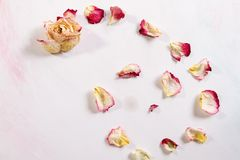 The dried rose petals are falling white background. Represent of the heart broken, lost or disappoint Royalty Free Stock Photo