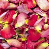 Dried rose petals Stock Image