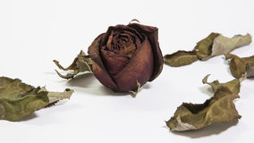 Dried rose Stock Image