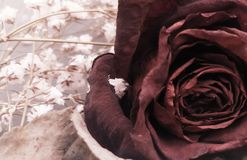 Dried rose with some white flowers for background. Copy space stock image