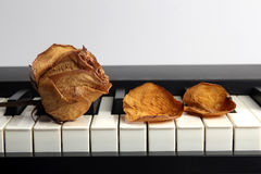 Dried rose with water drops and fallen petals lying on piano Royalty Free Stock Photo