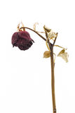 Dried rose on white background Royalty Free Stock Photography