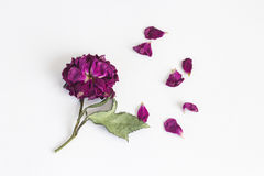 Free Dried Rose With Falling Petals On White Royalty Free Stock Photography - 59859667