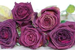 Dried roses Stock Image