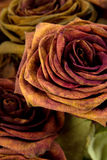 Dried Roses. Close up of Dried Roses in Detail royalty free stock photos