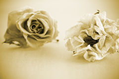Dried roses. Stock Photos