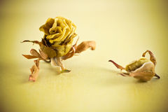 Dried roses. Royalty Free Stock Images