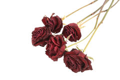 Dried roses. Red dried roses isolated on white background (saved with clipping path Stock Photography