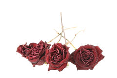 Dried roses. Red dried roses isolated on white background (saved with clipping path Royalty Free Stock Images