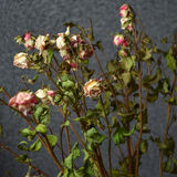 The dried roses with background Stock Photography