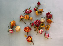 Dried roses on a blue background Stock Photos
