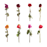 Dried roses of different colors Stock Photography
