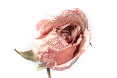 Dried roses isolated Royalty Free Stock Images